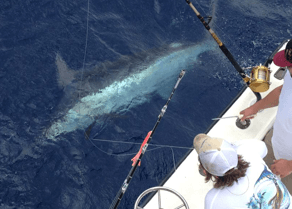 Giant blue marlin being released.